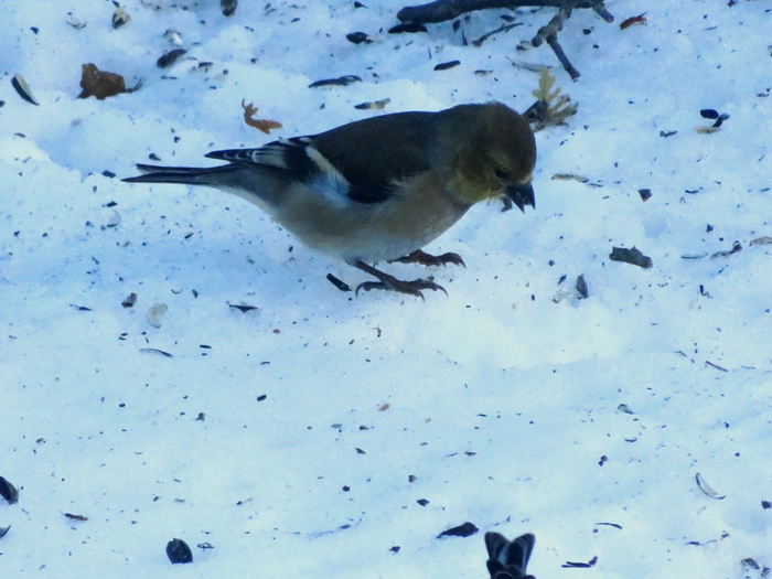 Goldfinches scavenging uncovered seeds