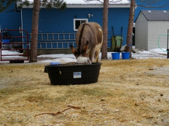 Darby getting some serious eating in before the bins are put into the barn. The jennies all prefer to eat outside.