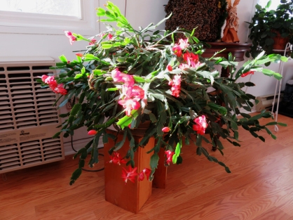 The Christmas Cactus has been blooming since November!
