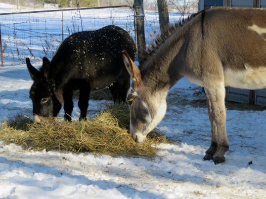 No matter what I do ... their favourite way to eat hay is off the ground.