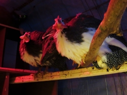 Hmmm ... seems chainsaws, handsaws, drills and hammers make the Guineas a little nervous.