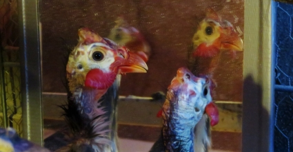 Wait? Who is 'Mikey'? One of these silly roosters in this mirror?