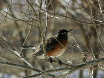 We saw three Robins in the yard this morning!