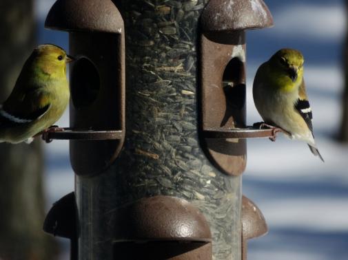 Goldfinches enjoying the sunshine