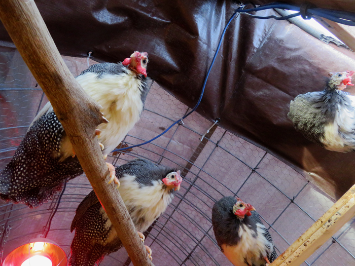 The Guineas kept a close watch while I totally cleaned out their coop.