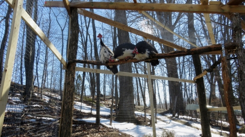 Three roosters went directly to the highest perch ...