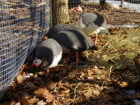 By the time the day wound down the Guineas were happy to discover their coop was still there.