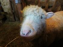 Ewe momma - had her little one yesterday too