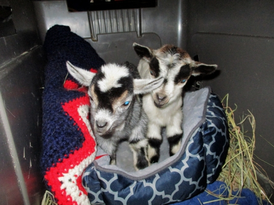 March 30 Goats0047