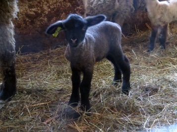 So much fun to see 27 little lambs all cavorting around the barnyard!