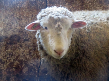 Seems that the ewe I began to think of as 'Disney' is either not pregnant or has another month or so to go ...