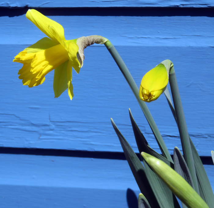 First daffodils opened this morning.