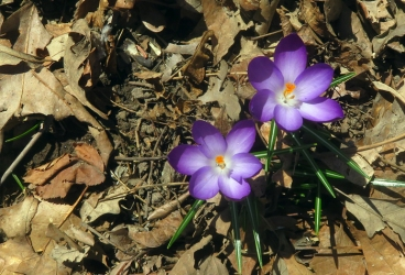 Love the tiny crocus blooms in the woods.