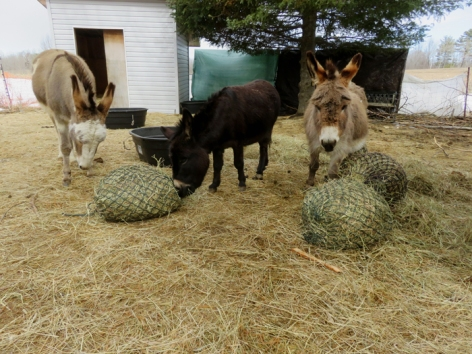 These jennies sure do love their hay bags. They get fastened into bins when I'm not there.