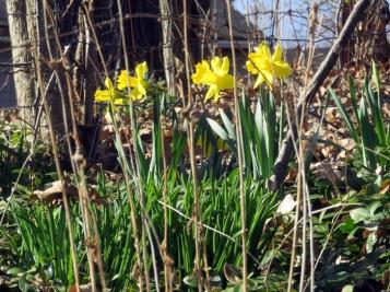 Daffodil bursts!