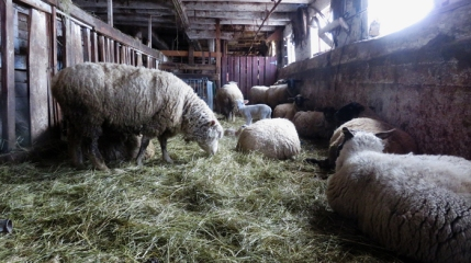 All was quiet when I checked on the lamb maternity ward at noon.