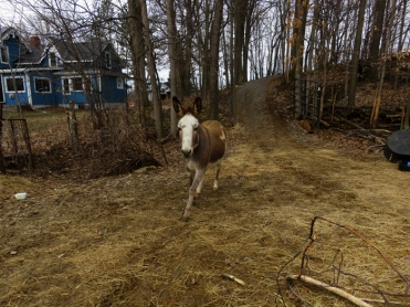 Wait! Don't close that hay barn door! I'm coming!