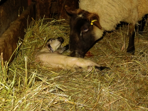 A few hours later along came lamb number one.
