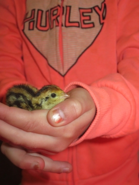 The quail eggs hatched last week ... believe it or not this little thing is almost a week old! Very tiny!