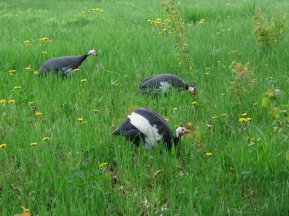 The Guineas held races in the back field this morning. Ha!