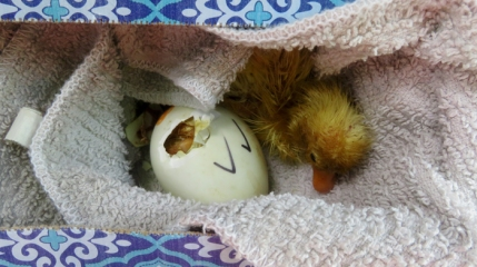 These two little ducks were hatching in the van as Cari and Maddie helped deliver Goldie.