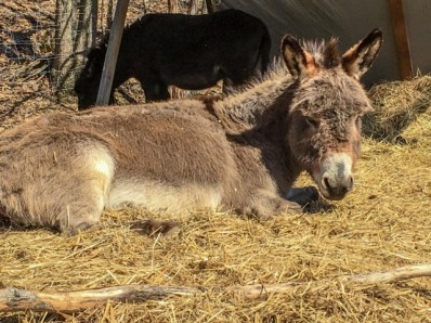 It was SO sunny and warm ... the jennies all spent time laying on the cool straw bed which is on top of a thick ice pack.